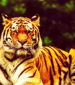 Nepal doubles tiger's population
